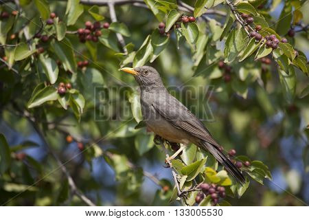 Olive Thrush sitting in tree with green leaves and berries