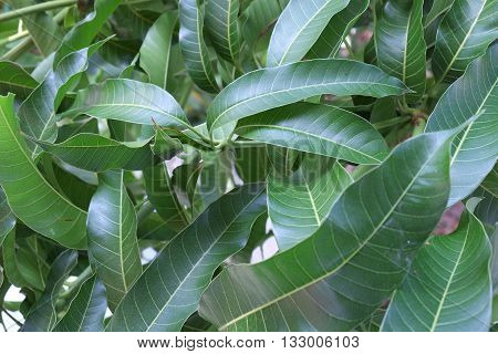 mango leaf on mango tree ,green leaf