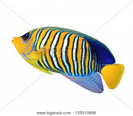 Tropical fish: Regal Angelfish isolated on white background