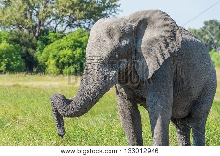 Close-up Of Elephant With Trunk On Tusk