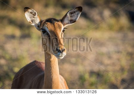 Close-up Of Female Impala Head And Neck