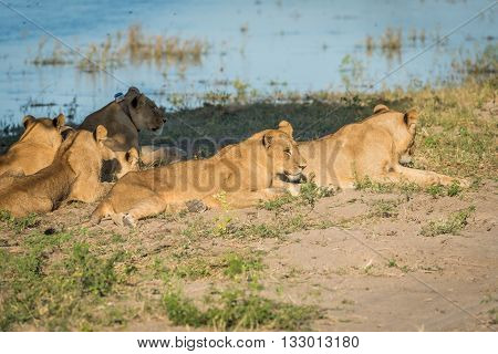 Close-up Of Five Lions Lying On Riverbank