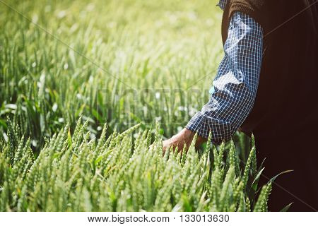 Elderly farmer examining wheat crops in field crop protection and responsible agricultural production