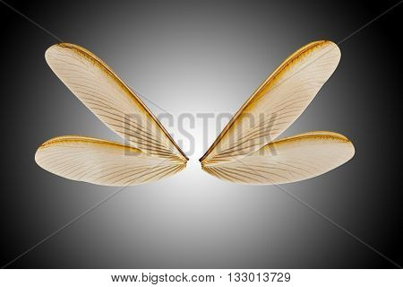 Wing Of Flying Termite