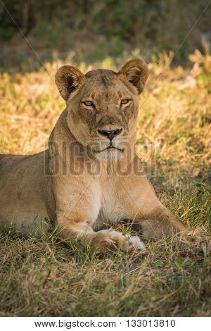 Close-up Of Lioness Lying In Grassy Clearing