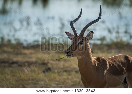 Close-up Of Male Impala Facing Camera Eating