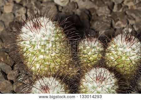 Group Of A Spiked Cactus