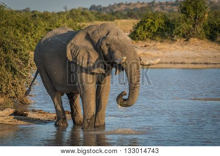 Elephant At Dusk Drinking From Water Hole
