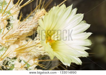 Yellow Flower A Parodia Magnifica Cactus