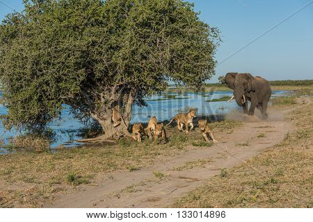 Elephant Chases Six Lions Away From Tree