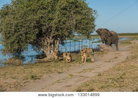 Elephant Chases Six Lions Away On Riverbank