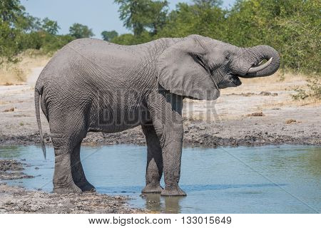 Elephant Drinking With Trunk At Water Hole
