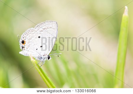 Holly blue in spring.summer Conventional butterfly yellow perch on flowers yellow chrysanthemum in the fields on the background.