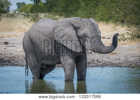 Elephant Standing In Water Hole Raising Trunk