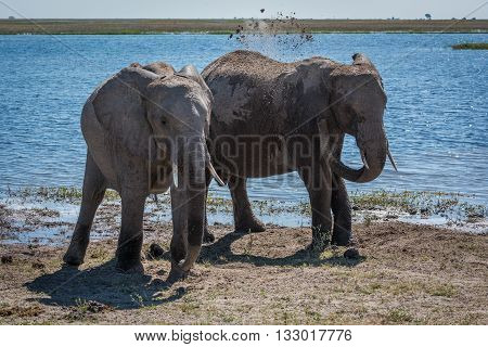 Elephant Throwing Mud Over Shoulder Beside Another