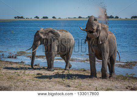 Elephant Throwing Mud Over Shoulder Beside River