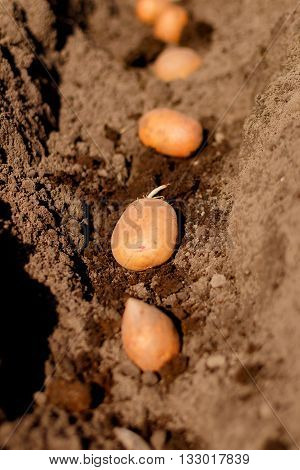 process of planting potato field in the vegetable garden close up. Seed potatoes