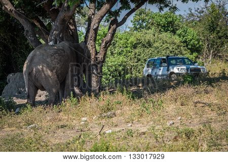 Elephant Under Tree Watched By Jeep Passengers
