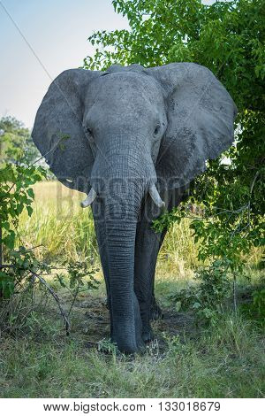 Elephant Walks Straight Towards Camera Through Bushes