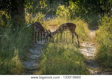 Female Impala Butting Heads On Woodland Track