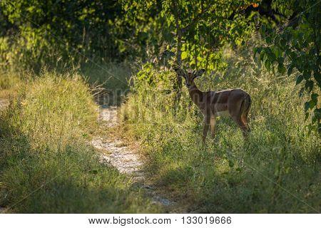 Female Impala By Track In Dappled Sunlight