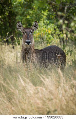 Female Waterbuck Facing Camera In Long Grass