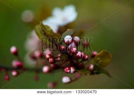 Flowers Of Cherry Blossom