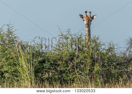 Giraffe Peeping Over Bush Under Blue Sky