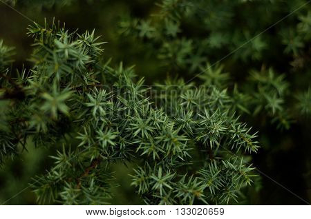 pine branch, close-up of pine branches, background image