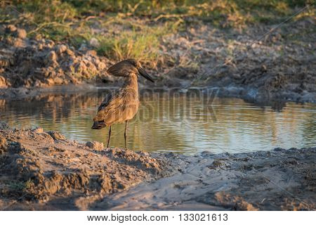 Hammerkop By Muddy Water Hole At Dusk