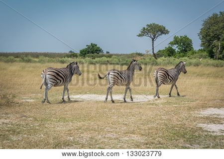 Line Of Three Burchell's Zebra On Plain