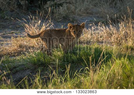 Lion Cub In Grass Staring At Camera