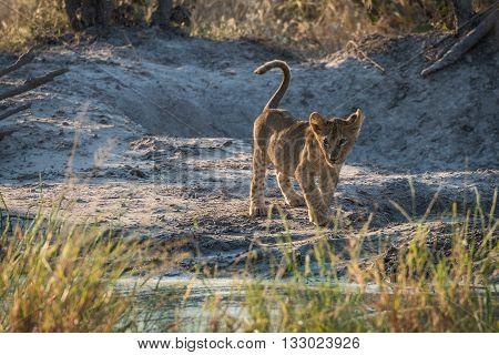 Lion Cub Staring Ahead By Water Hole