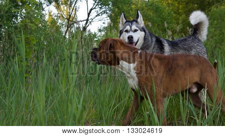 two dogs, breed the boxer and breed a malamute, run, together, a high grass, the wood a background,