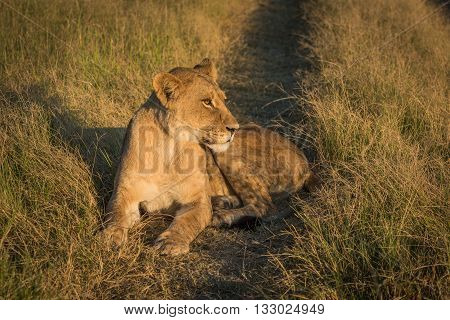 Lion Lying On Grassy Track At Sunset