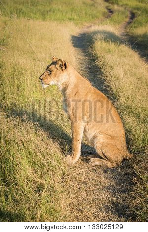 Lion Sitting On Grassy Track At Sunset