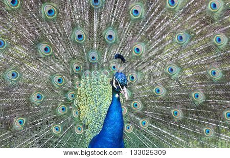 A magnificent male peacock fanning its feathers