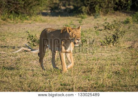 Lioness stalking prey in a grassy clearing