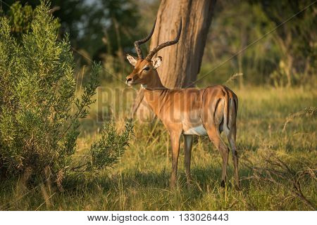 Male Impala Beside Bush In Golden Light