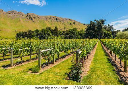 Vineyard Rural Scene North Island New Zealand