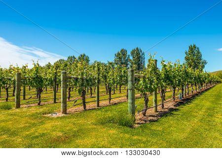 Vineyard near Napier in North Island - New Zealand