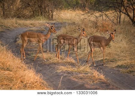 Three Young Impala Crossing Track In Bush