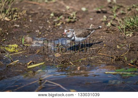 Three-banded Plover Looking For Food On Riverbank
