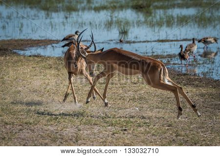Two Male Impala Fighting On Grassy Riverbank