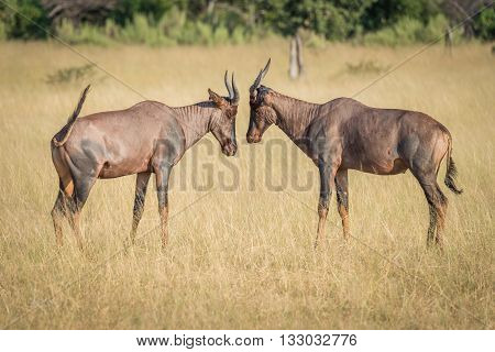 Two Tsessebe Head-to-head On Grassland In Sunshine