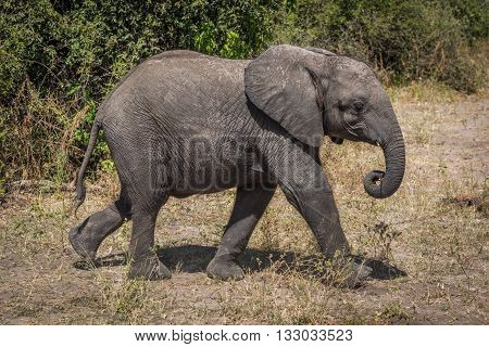 Young Elephant Walking Beside Bushes On Savannah
