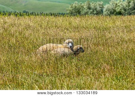 Sheep resting in the fields of New Zealand. There are 40 million sheep in New Zealand and 4 million people!