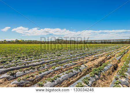 Strawberry farm near Napier in North Island - New Zealand