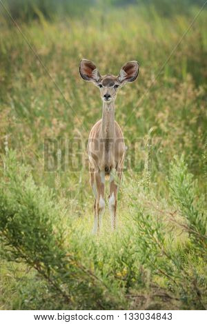Baby greater kudu in grass facing camera