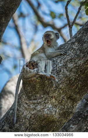 Baby vervet monkey lying on branch yawns